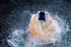 Psychic Polar Bear Predicts Confederations Cup